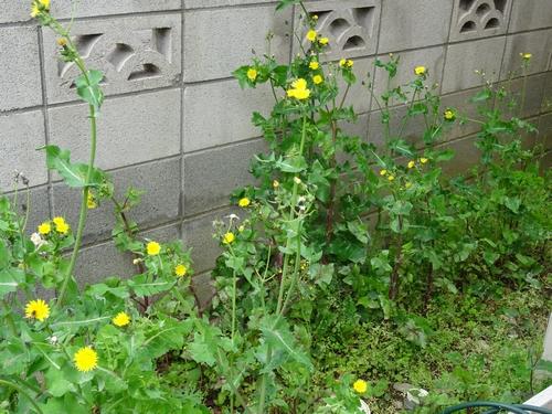 0501雑草タンポポ.jpg