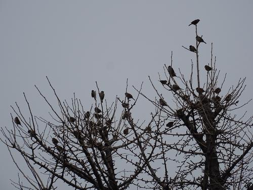 スズメの木2.jpg
