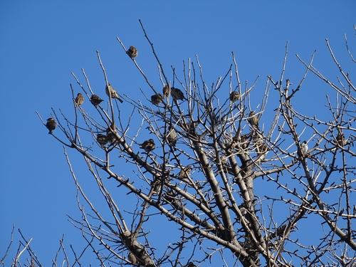 スズメの木再び.jpg
