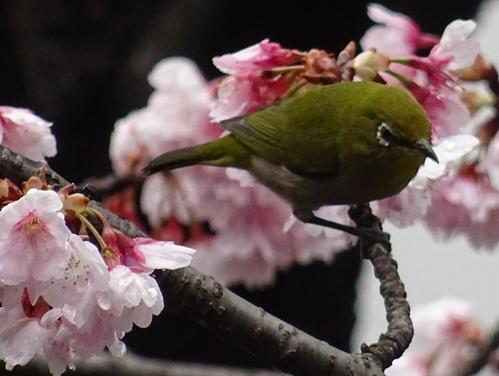 桜5-2.jpg