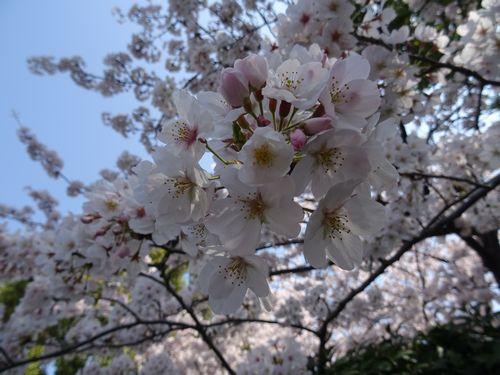 桜9.jpg