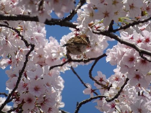 桜と2.jpg