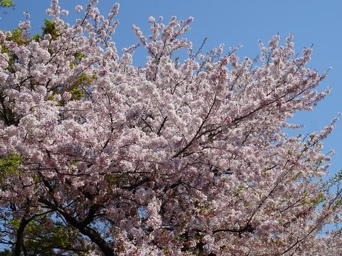 桜と3.jpg