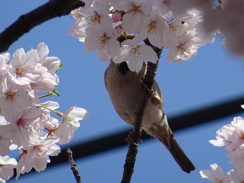 桜と4.jpg