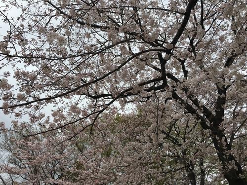 桜比較 スマホ1.jpg