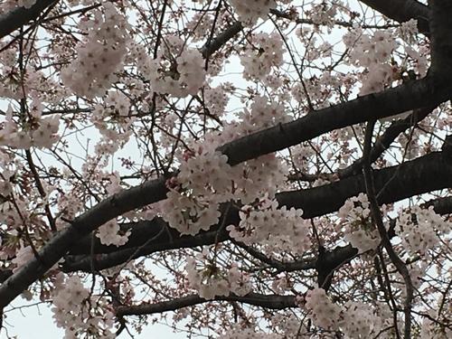 桜比較 スマホ2.jpg