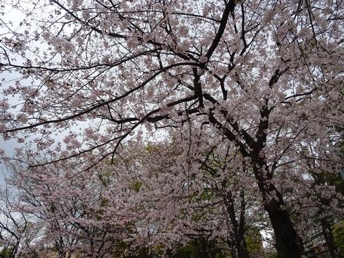 桜比較 デジカメ1.jpg