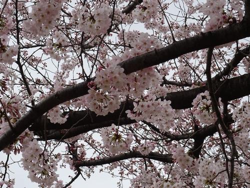 桜比較 デジカメ2.jpg