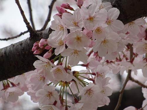 桜比較 デジカメ3.jpg