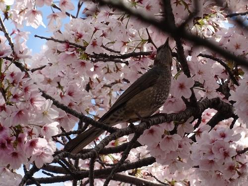 桜と1.jpg